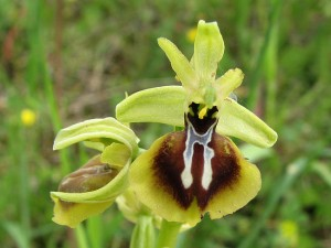 ophrys_aesculapii