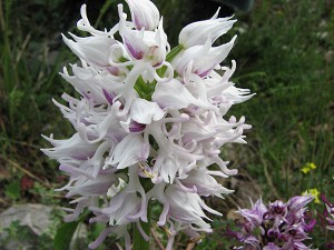 orchis_simia_weiss