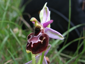 ophrys pollinensis