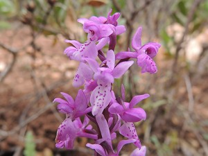 orchis_olbiensis