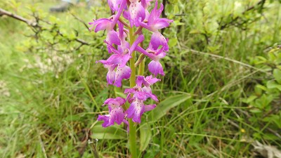 69orchis mascula