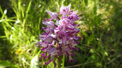 73orchis simia