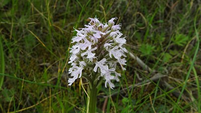 Orchis_conica