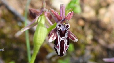 ophrys_cretica